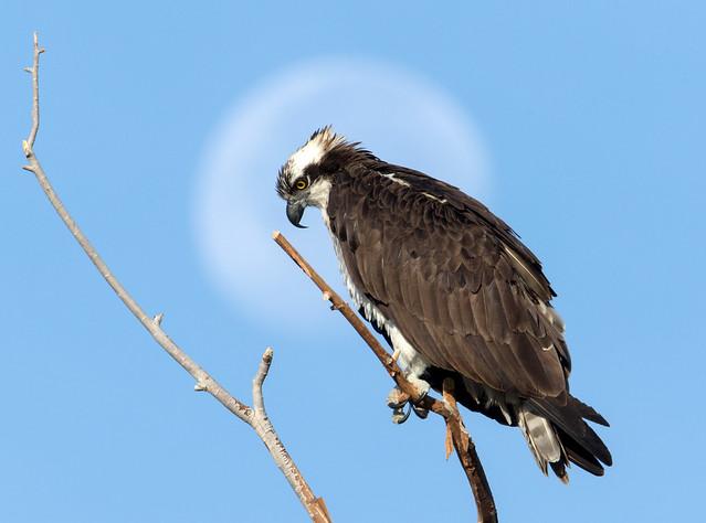 Osprey, Moon Back Lit