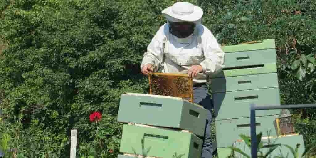 Les abeilles sauvages menacées par les abeilles d'élevage