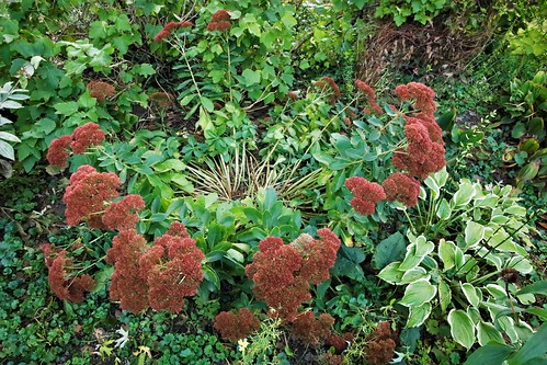 Heavy on Top  (Sedum)