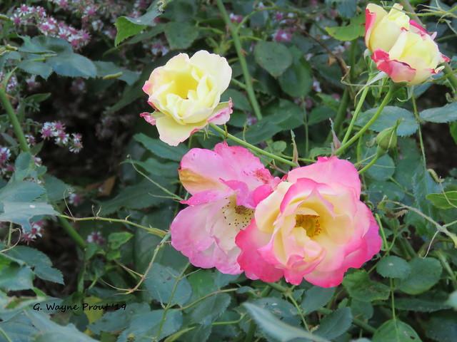 Floribunda Rose Campfire (Rosier floribunda)