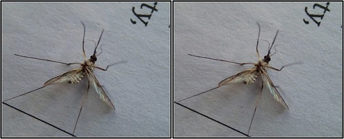 crosseye macro mosquitoe stereo tremblant