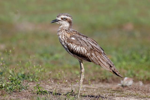Bush Thick-knee (Bush Stone-curlew)