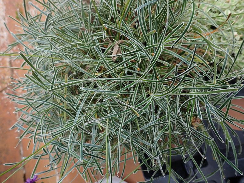 Ficinia truncata 'Ice Crystal' 48923504853_bb8b5ef5a7_c