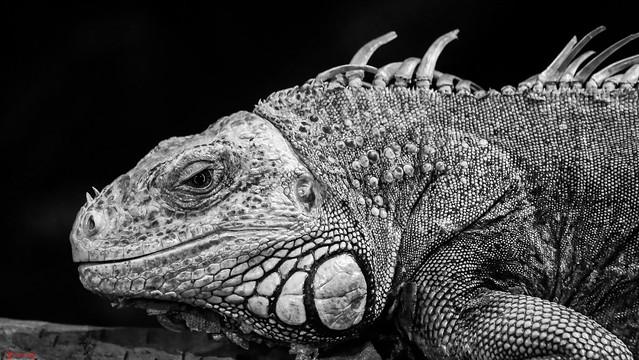 Reptile - 7577