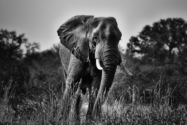 Elephant - South Africa