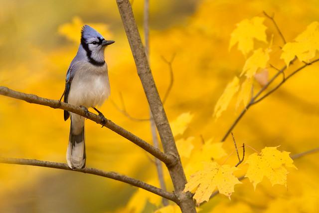 Blue Jay on Sugar Maple