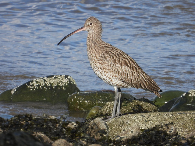 Curlew standing tall