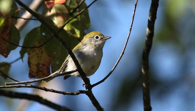Chestnut-sided Warbler immature -  Paruline à flancs marrons immature ( Richard )