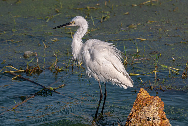 A Little Egret fishing around the shallow part of the lake banks