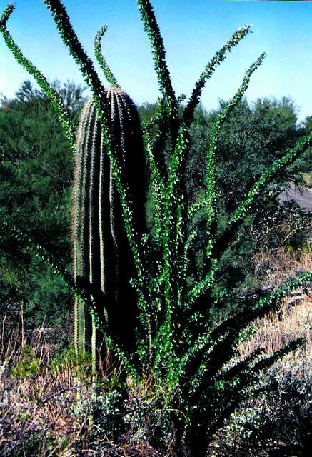 Saguaro National Park, Tucson, Arizone, U.S.A.