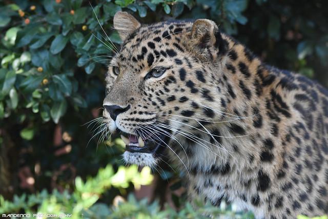 Amur leopard - Zoo Amneville