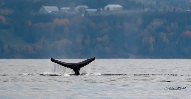 Les Baleines du Saint-Larent