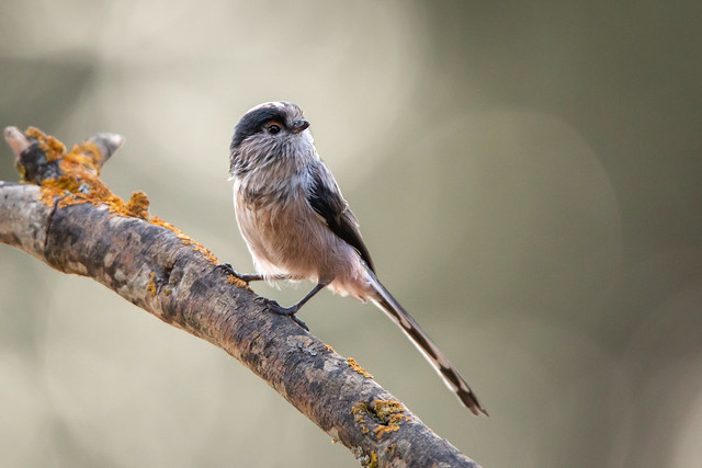 Iberische staartmees - Iberian long-tailed tit