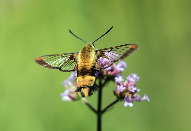 015A7897 Hummingbird Clearwing Moth