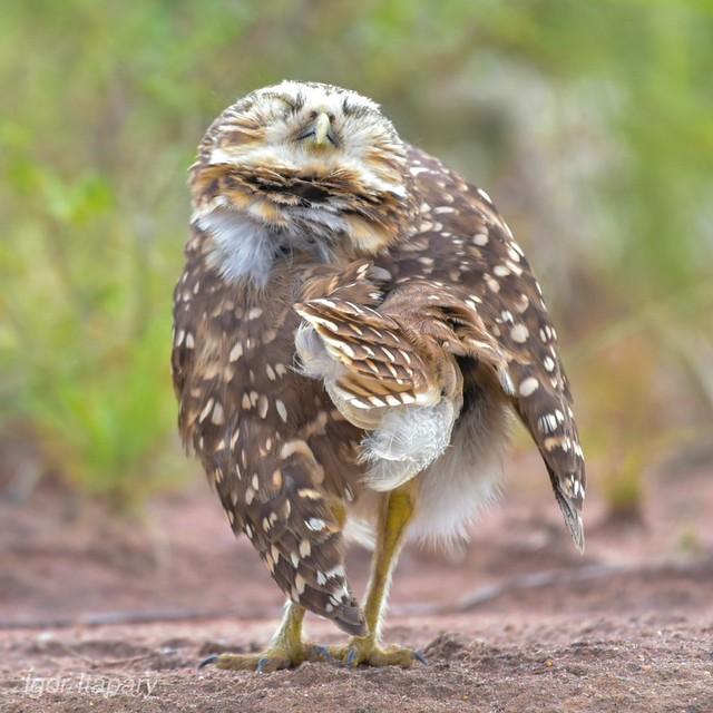 Coruja-buraqueira- Athene cunicularia-Burrowing Owl