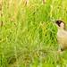 Green Woodpecker taken in Lincolnshire