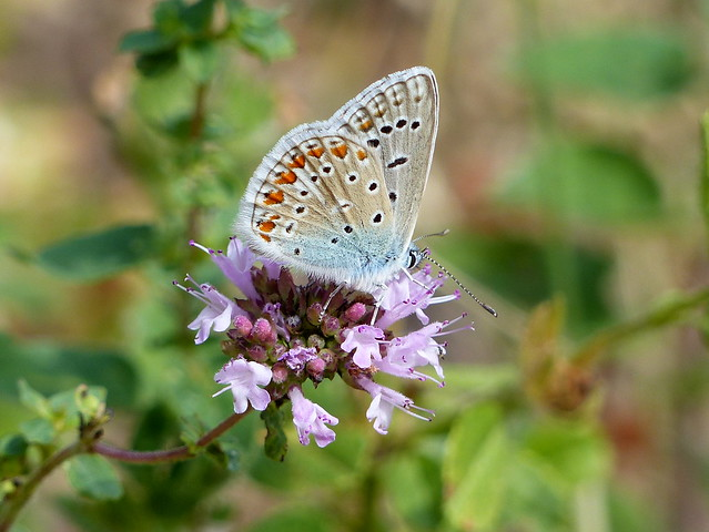 Common Blue Side-Face