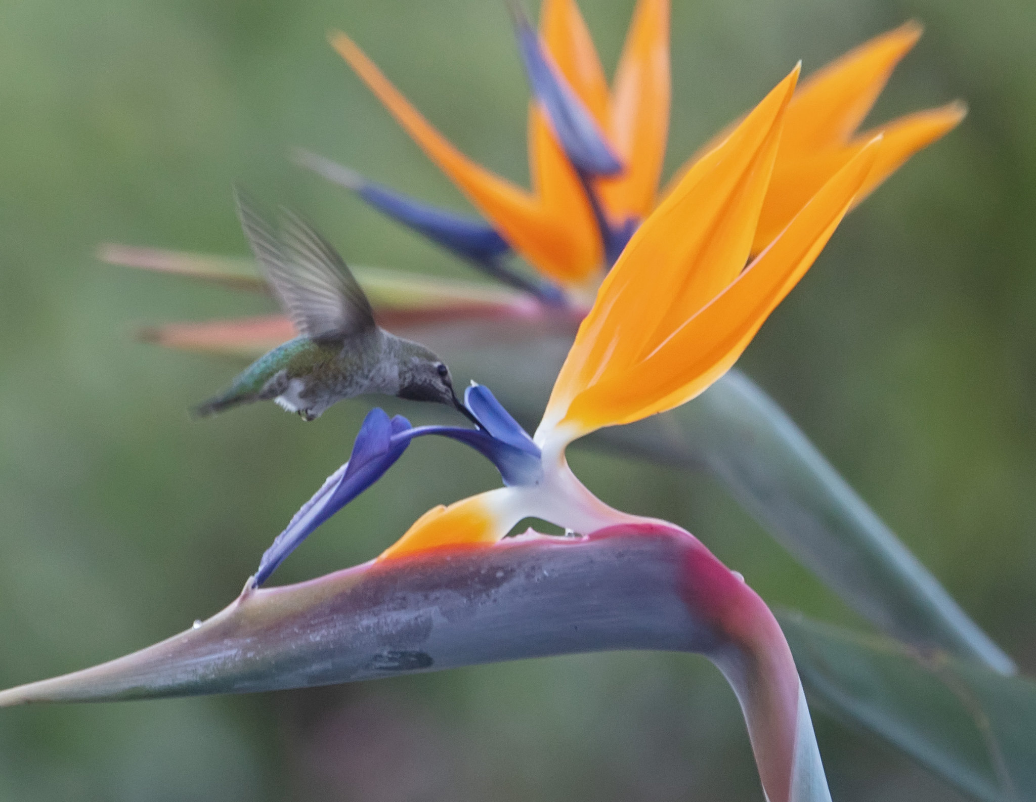 Hummingbird on Bird of Paradise flower