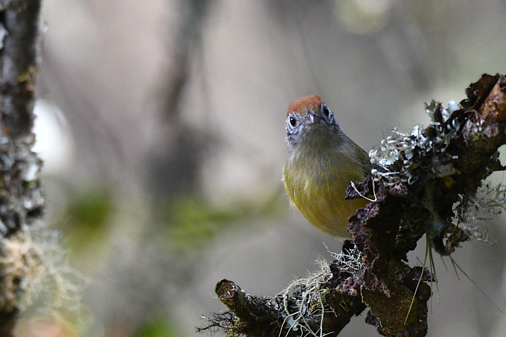 Rufous-crowned Greenlet // Verdinho-coroado