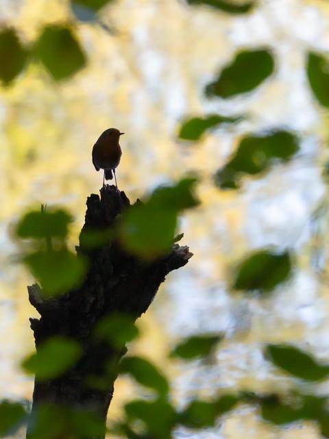 Rouge-Gorge / European Robin / Erithacus Rubecula
