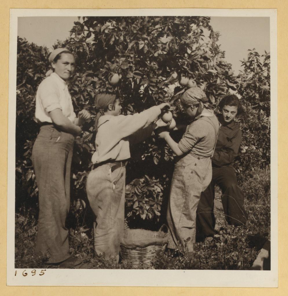 9 марта. Тель-Авив и окрестности,  Девушки из сельскохозяйственной школы на сборе апельсинов