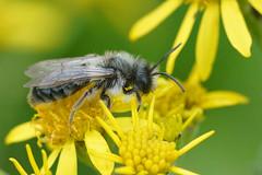 Asbij - Andrena cineraria ?