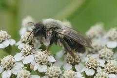 Grijze zandbij - Andrena vaga