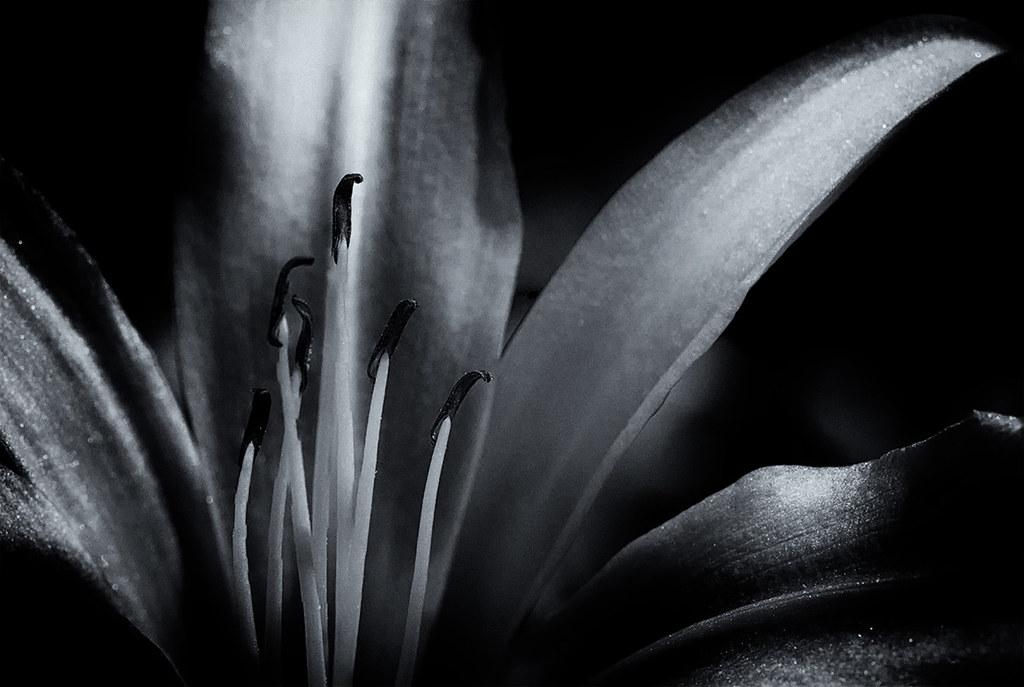 Hemerocallis - Daylily: b/w