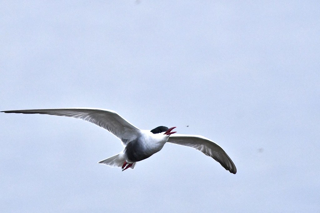 Whiskered Tern  ( fun shot on a rainy day )