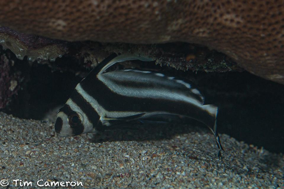 IMG_6077-Fish-041019-Curacao, spotted drum- Equetus punctatus.jpg