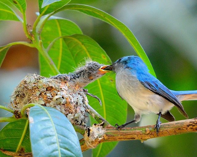 African Blue Fly Catcher