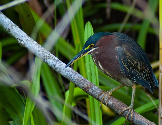 Green Heron 4 (1 of 1)