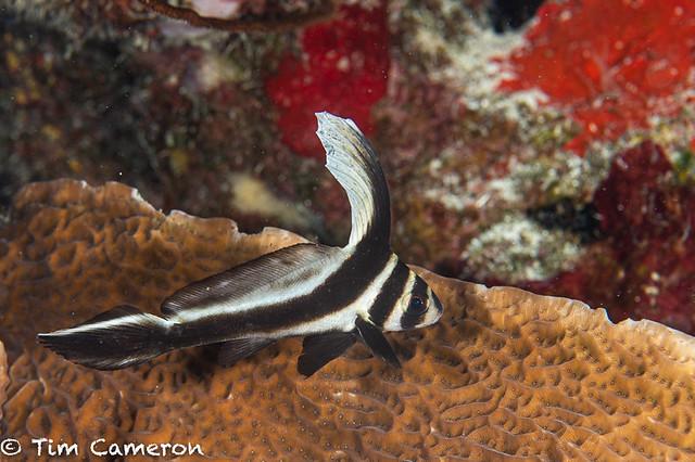 IMG_5751-Fish-011019-Curacao, juvenile, spotted drum- Equetus punctatus.jpg