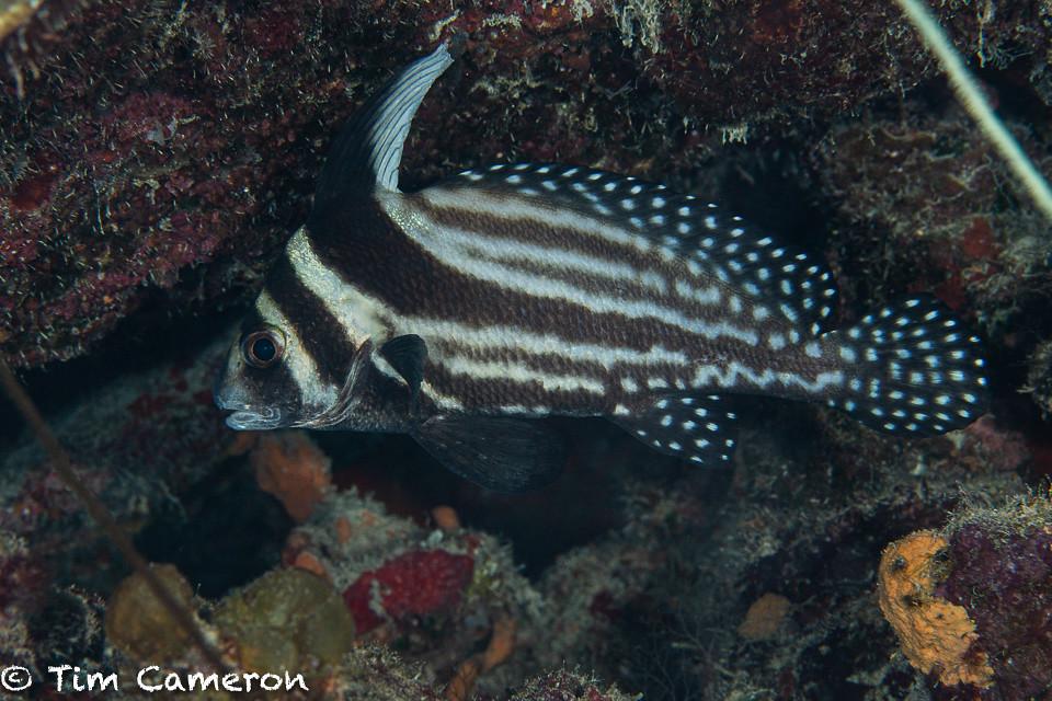 IMG_5752-Fish-011019-Curacao, spotted drum- Equetus punctatus.jpg