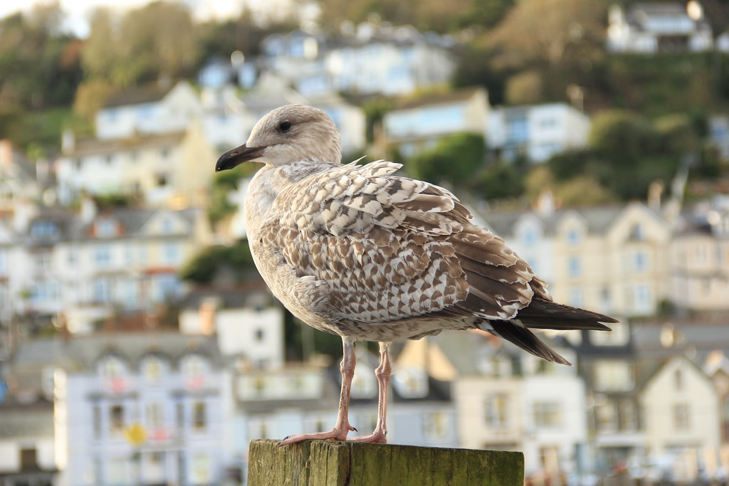 Young seagull, Looe harbour