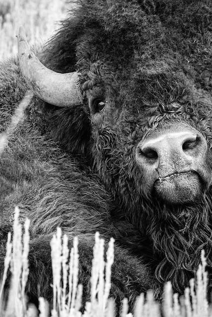 Bison, Elk Ranch, Grand Teton National Park. September, 2019.