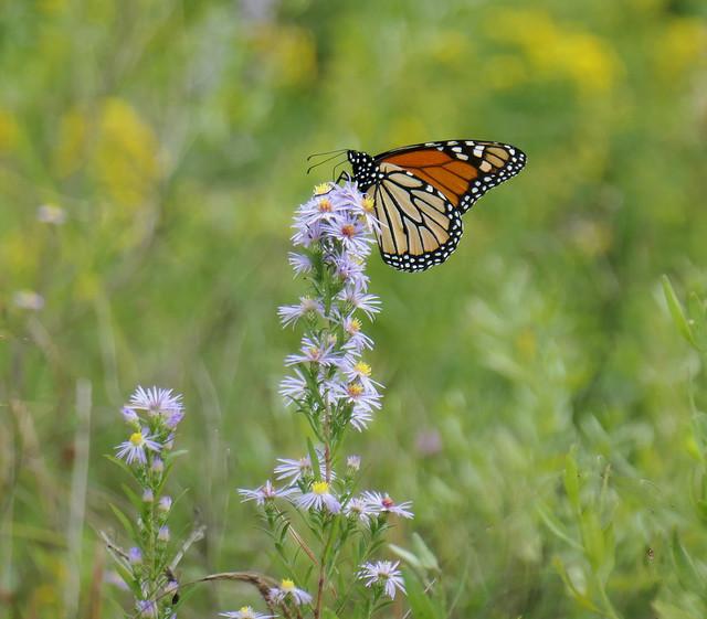 Monarch butterly atop a stalk of lavender color Fleabane