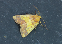 73.180 Barred Sallow - Tiliacea aurago