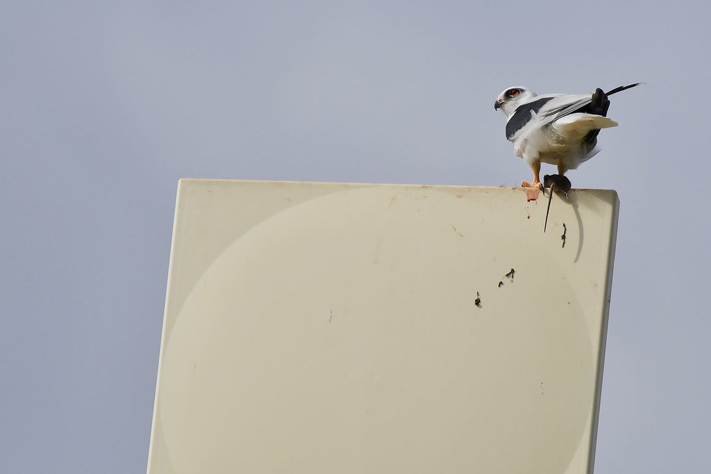 Black-shouldered Kite ( she must be busy )