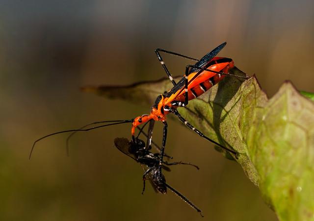Milkweed Assassin Bug / Zelus longipes