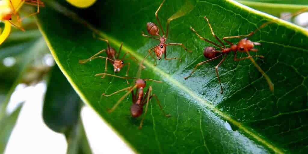 Les fourmis combattent les maladies des plantes