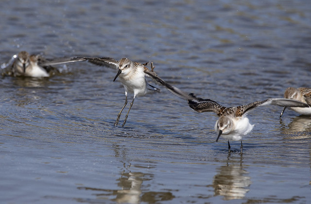 Western Sandpiper Coming Down After the Post-Bath Wing Flap