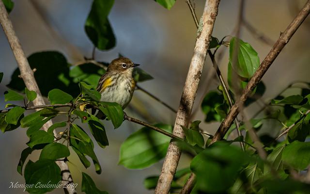 Paruline à croupion jaune - Yelow-rumped Warbler
