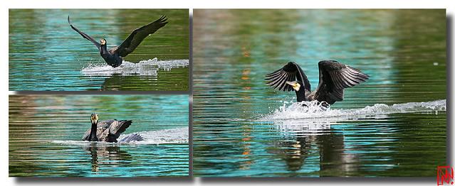 L'amerrissage  parfait d'un corbeau d'eau