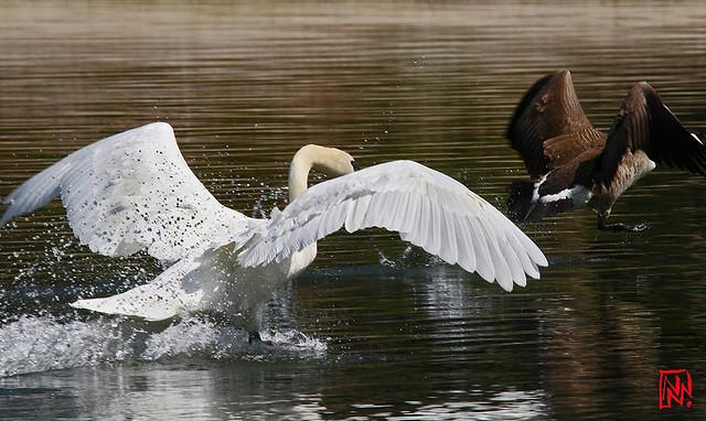 Rififi à la Mare Saint-James...le cygne mâle vole dans les plumes de l'oie bernache du canada