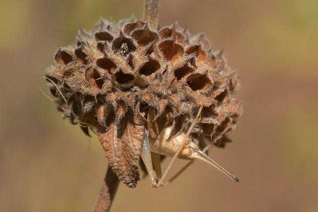 Tree Cricket (Oecanthus)