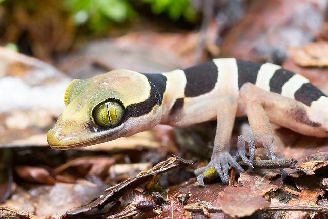 Cyrtodactylus australotitwangsaensis [Bent-toed Gecko]