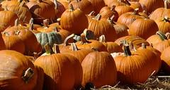 It's Pumpkin Pickin' Time
