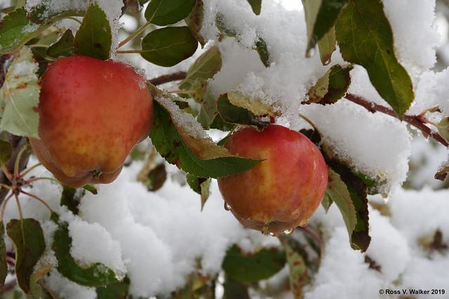 Snow on my apples