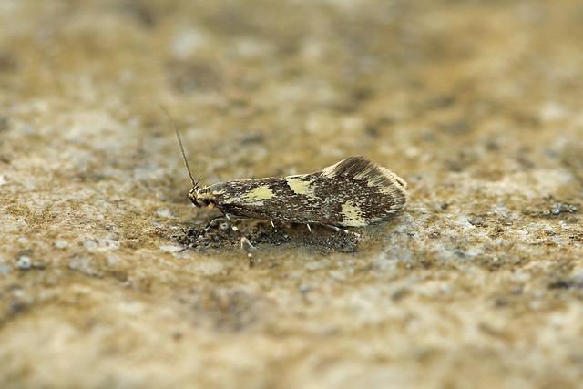 28.004 Denisia similella, Loch Rannoch, Perthshire